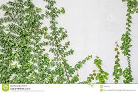 green wall climbing plants google search green wall