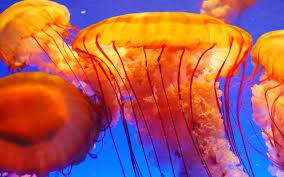 beautiful animals safaris beautiful dangerous jellyfish animal