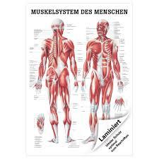 Esszimmerst Le Neu Ebay Menschliches Muskelsystem Lehrtafel Anatomie 100x70 Cm