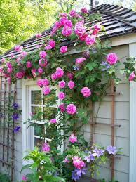 rose climbing plants in wooden planters climbing plants for the