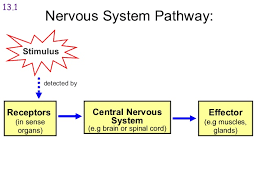 How Does A Reflex Arc Work In A Nervous System The Nervous System 2014
