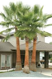 mexican fan palm tree 15 seeds easy to grow fast growing hardy to