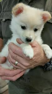 american eskimo dog oklahoma pomimo dog for adoption in ridgefield ct adn 479820 on
