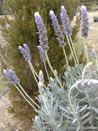 sweet viburnum 200mm pot viburnum hedging and screening plants online sydney