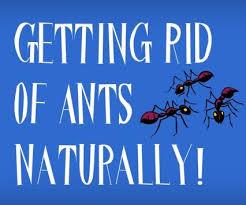 Ants In Backyard Best 25 Killing Sugar Ants Ideas On Pinterest Homemade Ant
