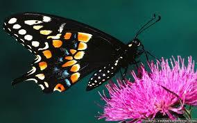 flowers and butterflies wallpapers frankenstein