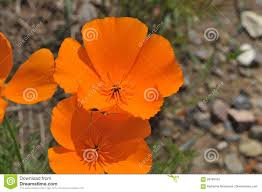 a species of native plant 100 eschscholzia californica is a species of flowering plant in