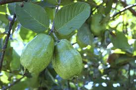 Best Fruit Trees For North Carolina - guava tree information u2013 growing and caring for a guava tree