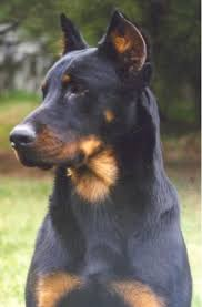 belgian shepherd x rottweiler sir i and virgo parents of sir ii training of sir i by david