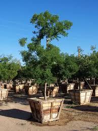 desert tree photo gallery by western tree company arizona