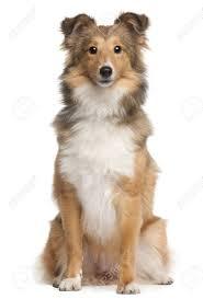 australian shepherd 3 mesi would you own that dog breed game