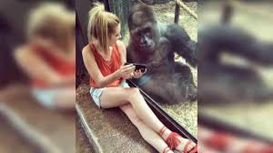 gorilla captivated by videos of baby gorillas abc11 com