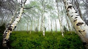 birch tree wallpaper 6869365