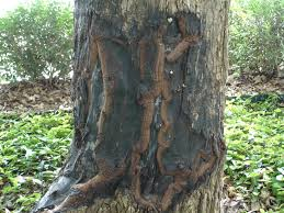 san antonio arborist association repairing trees after major