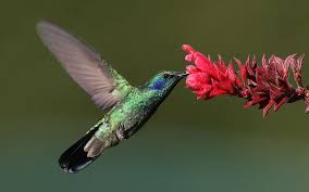 Hummingbird Flowers High Speed Video And Artificial Flowers Shed Light On Mysteries Of