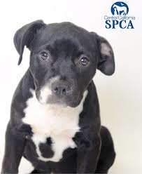 2 month old american pitbull terrier daisy is a 2 month old female black and white american bulldog