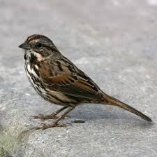 Backyard Song 73 Best Sparrows New World Towhees Juncos Perching Birds