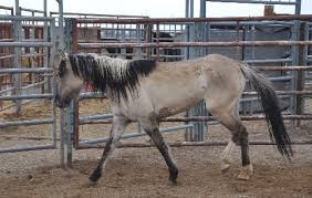 mustang adoption wowza 10 colorful mustangs in the blm adoption