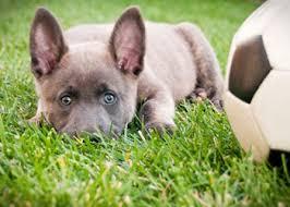 australian shepherd 1 jaar blue dutch shepherd puppies pinterest blue and dutch