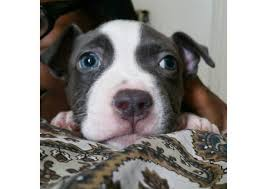 american pitbull terrier puppies for sale uk blue nose pitbull puppies for sale puppies for sale near me
