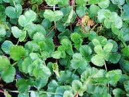 kapsul herbal purwoceng tazakka isi 80 untuk stamina lelaki