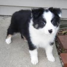 mini australian shepherd 7 months old my australian shepherd that passed away she was only 7 months old