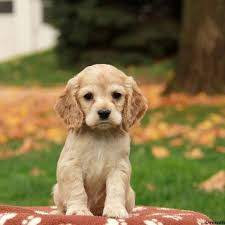 puppies for sale cocker spaniel puppies for sale greenfield puppies