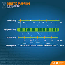 dna mapping genetic mapping fact sheet national human genome research