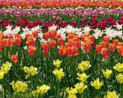 Tulip Field Holland Tulip Festival U2014 American Classic Tours