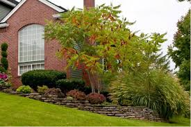 great design tree staghorn sumac