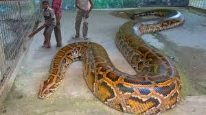 vidio film ular anaconda anaconda vs king kong 2018 youtube