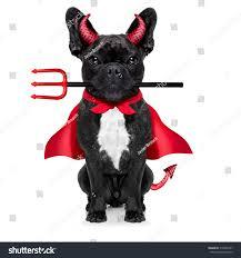 halloween witch french bulldog dog dressed stock photo 318466157