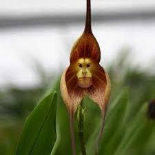 monkey orchids favorable egrow 200pcs garden bonsai flower monkey orchids