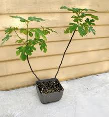 indoor decorative trees for the home growing fig trees in containers stark bro u0027s