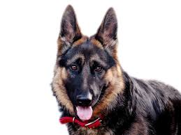German Shepherd Blindness 16 Interesting Pros And Cons Of Owning A German Shepherd