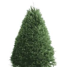 balsam fir christmas tree what are the different kinds of christmas trees christmas trees