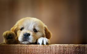 dog wallpapers best of cute dogs wallpapers for desktop free download download hd