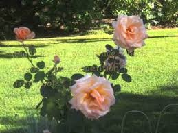 10 easy tips for growing roses youtube