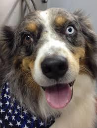 problems with australian shepherds 97 best australian shepherd dog images on pinterest dog photos