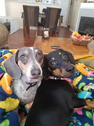 mile high dachshunds 5280dachshunds twitter