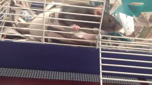 All Living Things Luxury Rat Pet Home by Critter Space Pod Review Youtube