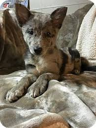 australian shepherd german shepherd australian shepard german shepard mix animals pinterest