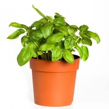 dalia in vaso produzione piante aromatiche biologiche azienda agricola