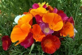 California Poppy California Poppy Mix Eschscholzia Californica 2 Grams Flower Seeds