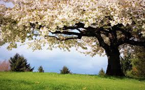 flowering cherry tree nature spring field blooming season