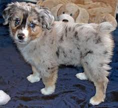 australian shepherd gray mini australian shepherd puppy for sale in boca raton south florida