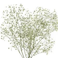 Baby Breath Wholesale Babys Breath Delivered Nationwide