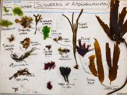 plants native to scotland an introduction to seaweed foraging u2013 galloway wild foods