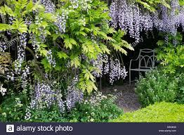 wisteria flower tunnel stock photos u0026 wisteria flower tunnel stock