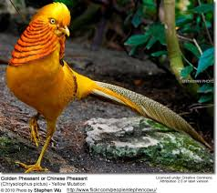 Backyard Pheasants Golden Pheasants Or Chinese Pheasants Aka Red Golden Pheasant